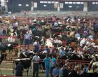Un lote de 6 novillas de primer parto para Écija en la Feria del Mercado de Torrelavega